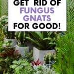 How to kill fungus gnats with cinnamon