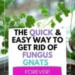 How to get rid of gnats in potting soil