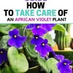 The Beginners Guide How To Take Care Of African Violet Plants. The African Violet plant is one of the most popular flowering houseplants. Taking care of your African Violet plant is pretty easy. Learn the best way how to take care of African Violet plants to ensure they live a long happy life.