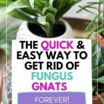 THIS IS HOW YOU GET RID OF FUNGUS GNATS ON HOUSEPLANTS.