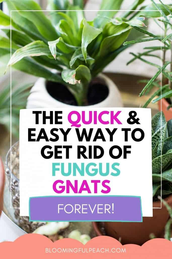 THIS IS HOW YOU GET RID OF FUNGUS GNATS ON HOUSEPLANTS. Could a fungus gnat be any more annoying? These tips will help you get rid of fungus gnats in your houseplants once and for all.