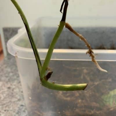 Is it better to propagate in water or soil