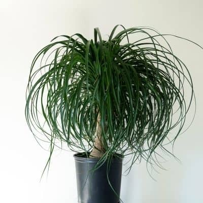 ponytail palm can you grow plants in a windowless room. The lighting in your home pretty much sucks. You want to own plants but struggle to figure which ones will survive in the dark corners of your home. These are the 9 of the best low light indoor plants you need to own.
