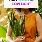 These are the 9 best houseplants that grow in low light. The lighting in your home pretty much sucks. You want to own plants but struggle to figure which ones will survive in the dark corners of your home. These are the 9 of the best low light indoor plants you need to own.