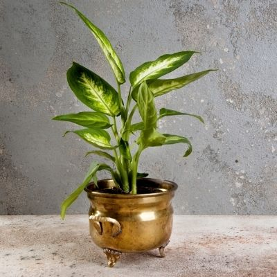 dumb cane where do medium light plants go. The lighting in your home pretty much sucks. You want to own plants but struggle to figure which ones will survive in the dark corners of your home. These are the 9 of the best low light indoor plants you need to own.
