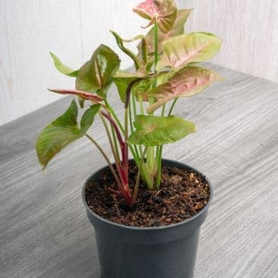 pink syngonium are there any houseplants that dont need sunlight. The lighting in your home pretty much sucks. You want to own plants but struggle to figure which ones will survive in the dark corners of your home. These are the 9 of the best low light indoor plants you need to own.