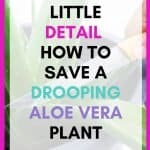 Is your aloe vera plant drooping? When you start to witness leaves on your aloe vera plant drooping, these 8 tips will save your plants life. Drooping leaves
